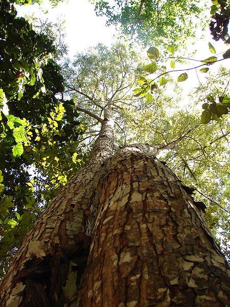 450px-Arvore_Mogno_Amazonia